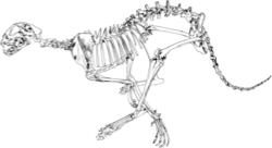Cheetah_skeleton_small